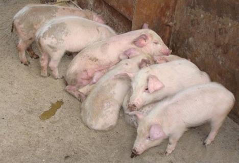 奶水喂小猪_为什么小猪断奶后会拉肚子,消化不良呢?              1.