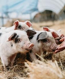 猪通用型发酵饲料