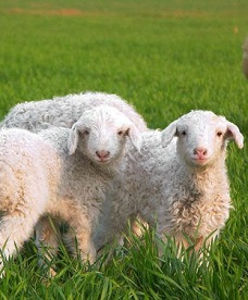 肉羊专用发酵饲料